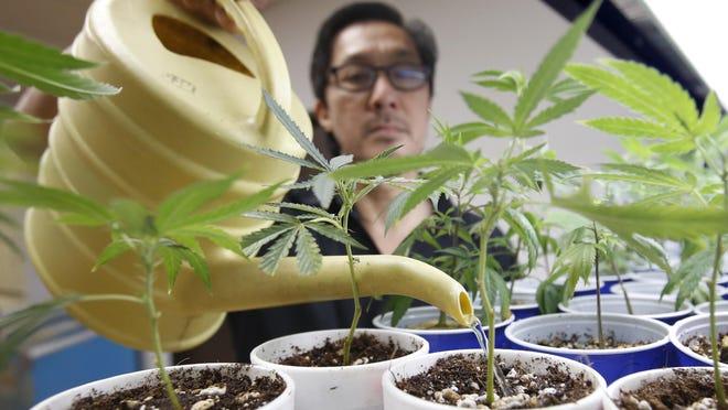 Canna Care employee John Hough waters young marijuana plants at the medical marijuana dispensary in Sacramento in August.