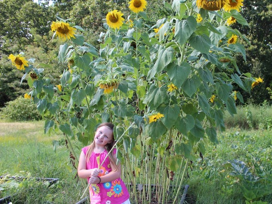 Zoe Fallon, 6, stands next to the sunflowers at the