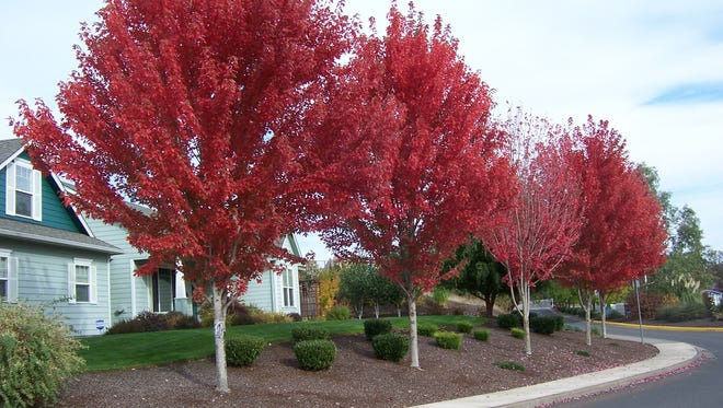 If dramatic color is on your list of must-haves for the garden, red maple is the tree for you.