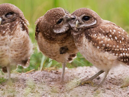 Burrowing owls in Cape Coral