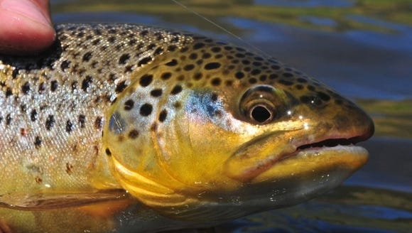 The annual stocking of area trout streams is scheduled