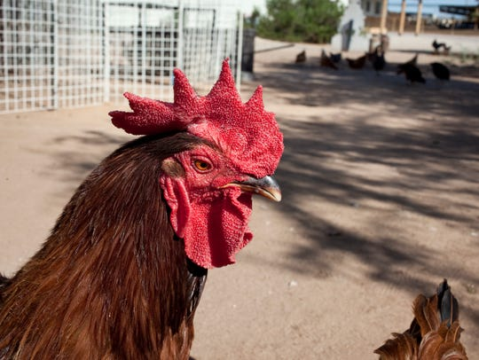 A chicken roams Superstition Farm in Mesa in 2010.