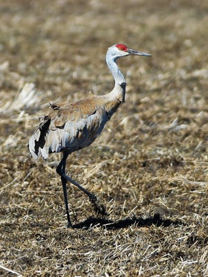 A sandhill crane feeds in a fallow field east of town on Monday, March 26, 2018.