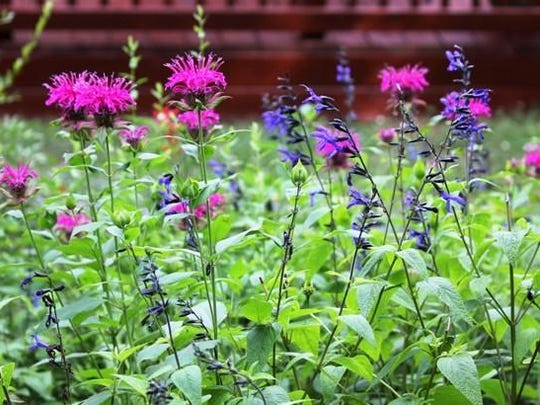 Bee balm and blue salvia