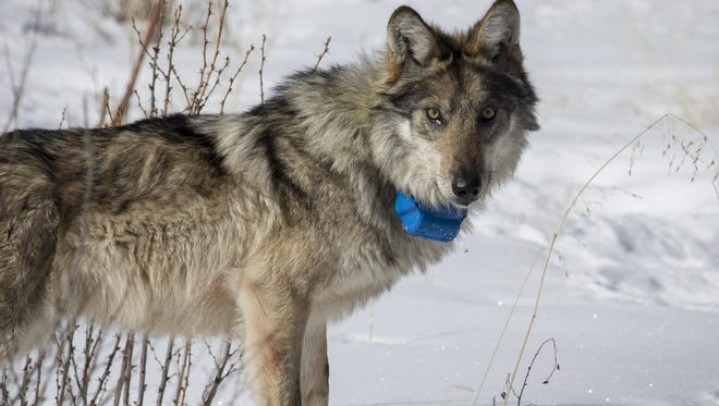 A Mexican gray wolf is released at Escudilla Mountain after being darted from a helicopter during a survey of the wolves.