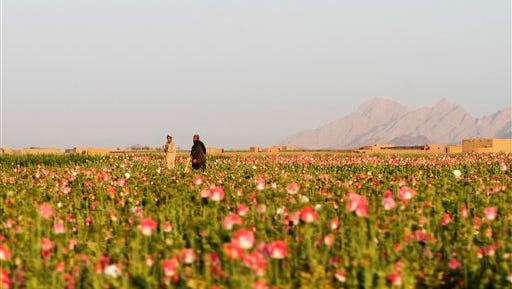 In this Saturday, April 11, 2015 photo, Afghan farmers harvest raw opium at a poppy field in Kandahar's Zhari district, Afghanistan.  This year, many Afghan poppy farmers are expecting a windfall as they get ready to harvest opium from a new variety of poppy seeds said to boost yield of the resin that produces heroin. (AP Photo/Allauddin Khan)