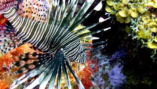 In this May 22, 2012 file photo, a lionfish swims near coral off the Caribbean island of Bonaire. The effort to turn lionfish into a menu item appears to be working but the demand seems to be outpacing the supply. Lionfish are difficult to catch and must be individually speared.