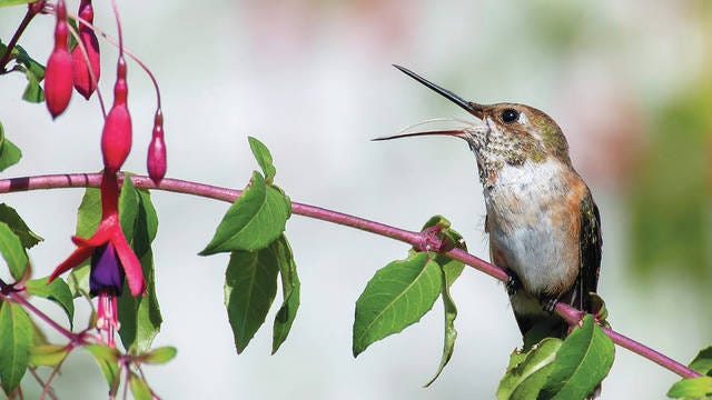 A rufous hummingbird perches on a fuchsia bush along a country road near Elkton in rural western Oregon. Robin Loznak via ZUMA Wire/TNS