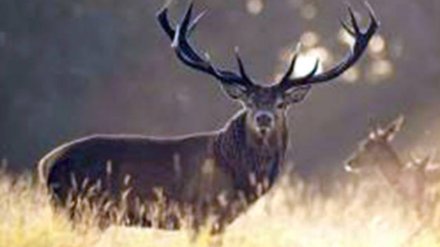 The Maury County Sheriff's Department reports between Wednesday, Dec. 4 and Friday Dec., 6, an unknown individual or group of individuals shot and killed a red stag living on private property reportedly owned by country star Luke Bryan near Mt. Pleasant.