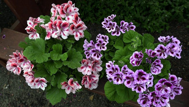 Early fall is a good time to dig up and store geraniums.