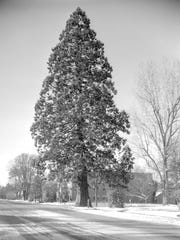 The Waldo sequoia, looking south, is seen in 1958 covered in snow. The Capitol Mall area surrounding the tree had not been developed.