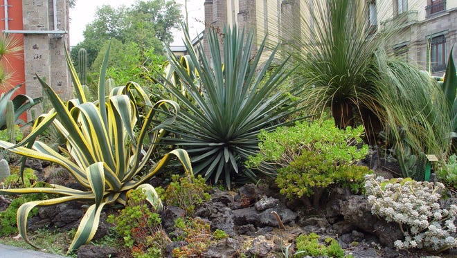 In rainy, wet, Mexico City, the botanical garden is built up onto lava flows to keep crowns high and dry above the soggy lakebed.