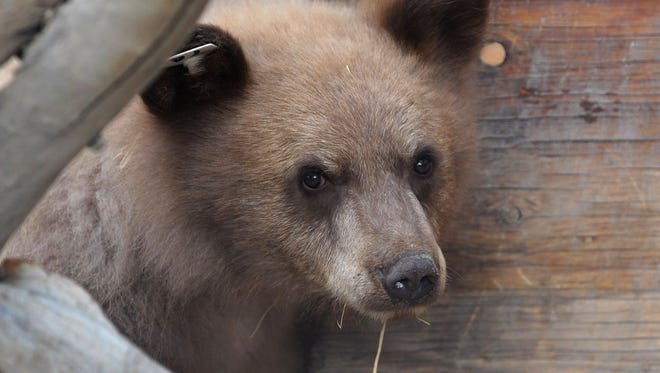 The larger of two orphaned bears cubs looks out of its new habitat at the Animal Ark on Dec. 10, 2010.