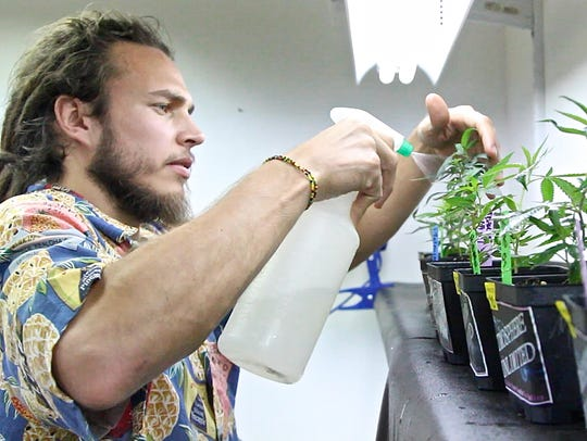 A budtender sprays cannabis plants at P.S.A. Organica
