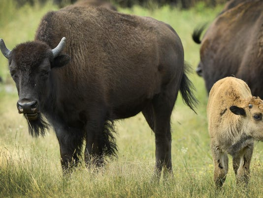 STC 0913 Blue Mounds Bison 01