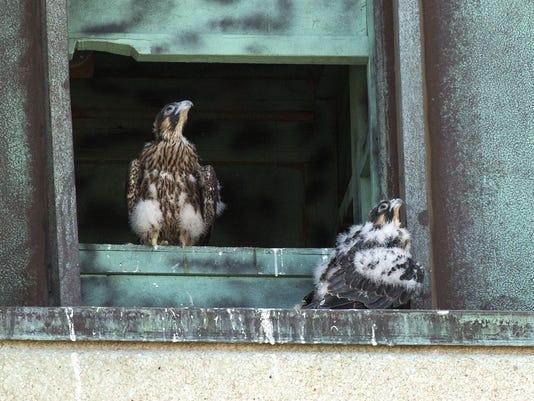 PNI Peregrine Falcon Rescue 0603