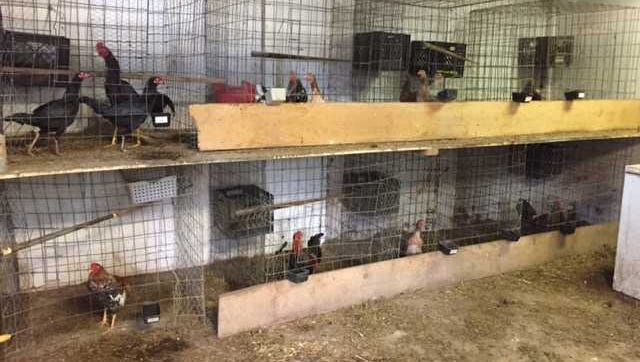 Some 48 roosters and approximately 300 hens and chicks were confiscated Thursday after three men were arrested for cockfighting.