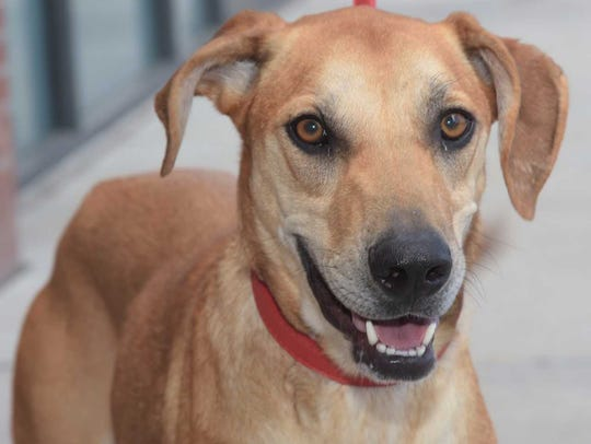 Georgia - Female (spayed) hound mix, about 2.5 years
