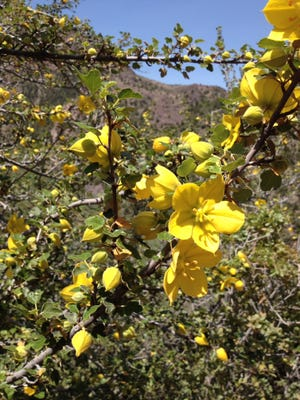 The plant in the photo is Fremontodendron californica. or California fremontia. This plant also is known as flannel bush and does grow in the chaparral on the transition zone of the Mogollon Rim in Arizona.