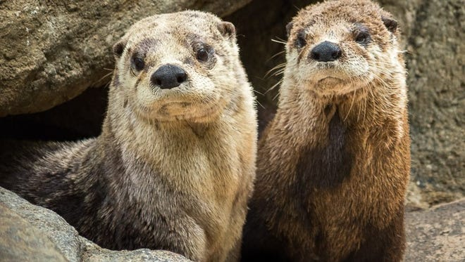Otters Obi-Wan and Olive at the WNC Nature Center.