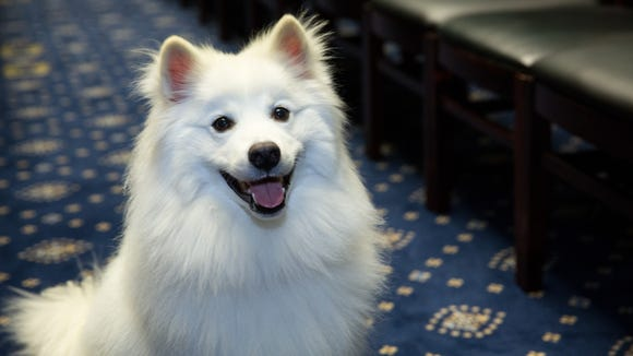 Koji is one of the pets up for Cutest Dog on the Hill