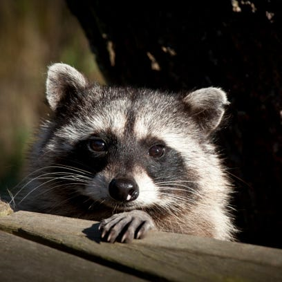 Racoon Face