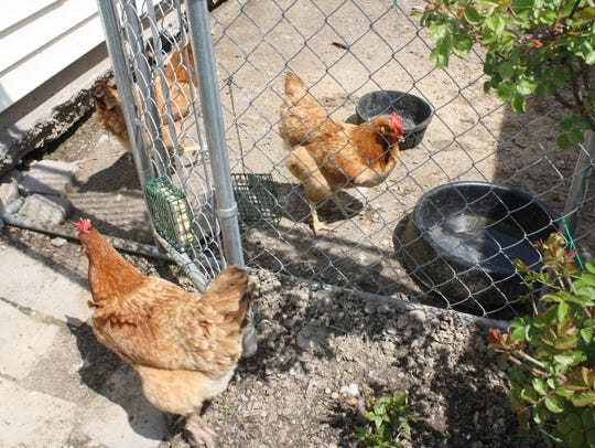 The Anderson family keeps backyard chickens in a coop
