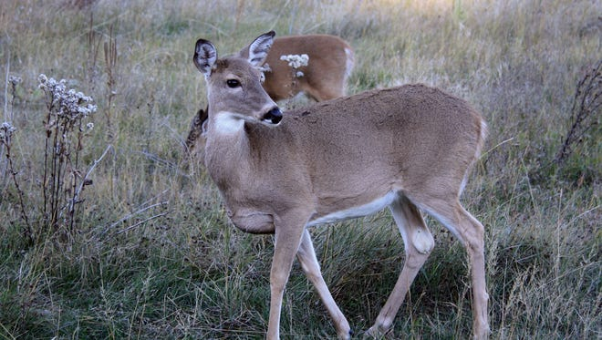 The olfactory system on a whitetail deer is estimated to be 1,000 times more efficient that ours.