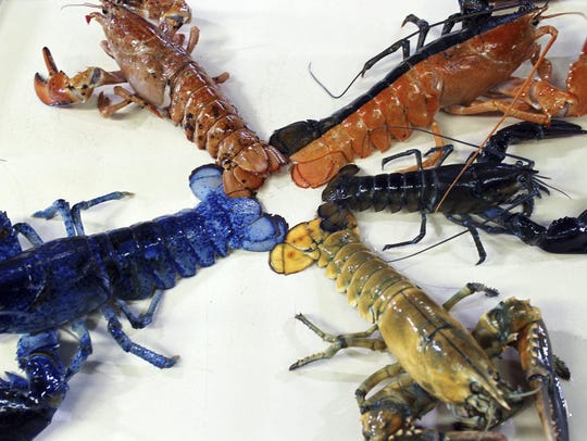 A rare yellow lobster, lower right, is displayed for