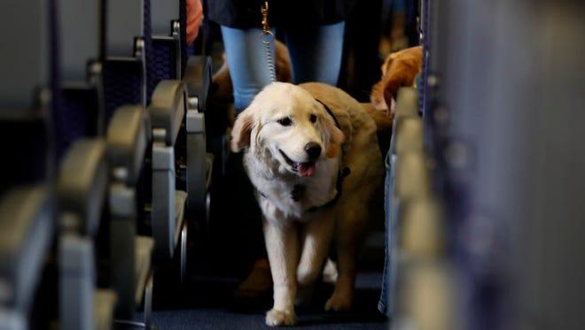 A service dog boards a plane.
