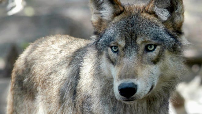 Gray wolves are no longer considered an endangered species after decades of population recovery efforts. This July 16, 2004, file photo, shows a gray wolf at the Wildlife Science Center in Forest Lake, Minn.