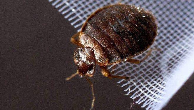 File photo of adult bedbug