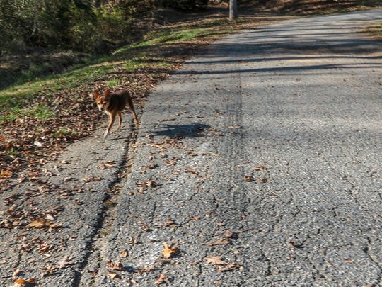 A dog walks near a large grove in the asphalt of Amber Drive in Anderson County.