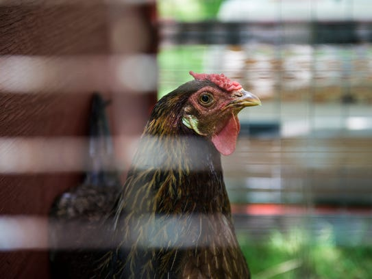 A chicken watches from its cage during speaker Beth