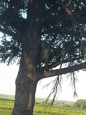 The mountain lion in this tree was killed by Iowa DNR officers June 27, 2017.