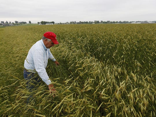 Wayne Siela walks into a field of cereal rye on land he farms in Vinton in this file photo. The cover crop helps filter water runoff from his cropland.