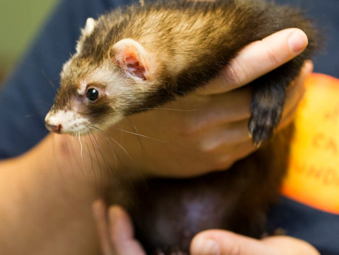 A ferret at the Animal Care and Control of Indianapolis, that was part of 53 animals that were seized by authorities from Indianapolis Animal Care and Control in a recent raid of two houses, Tuesday, June 10, 2014.