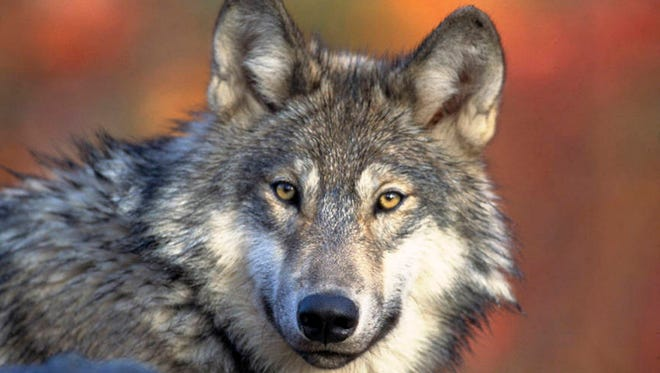 The gray wolf population has increased in the state.
