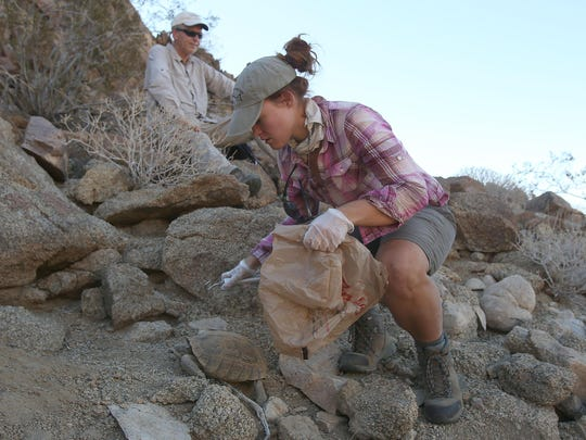 U.S. Geological Survey researcher Laura Tennant examines a desert tortoise in Joshua Tree National Park on Tuesday, July 14, 2015. Researchers are partnered with the Coachella Valley Conservation Commission to study the threatened species.