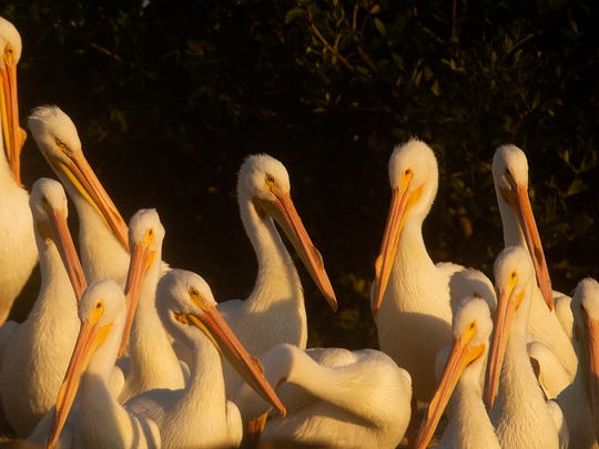 Dozens of American White Pelicans are lit by a rising sun on Hemp Key in Pine Island Sound on Tuesday 2/18/2014.
