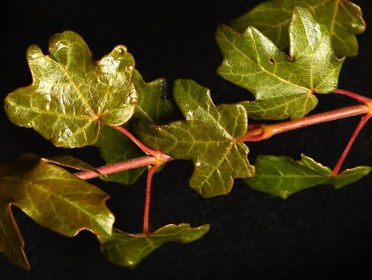 """These leaves are from the Acer grandidentatum """"JFS-NuMex"""