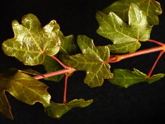 "These leaves are from the Acer grandidentatum ""JFS-NuMex 3."" Rolston St. Hilaire, NMSU Plant and Environmental Sciences Department Head and Professor, developed and patented the plant. J. Frank Schmidt & Son Co. trademarked the Mesa Glow maple name."