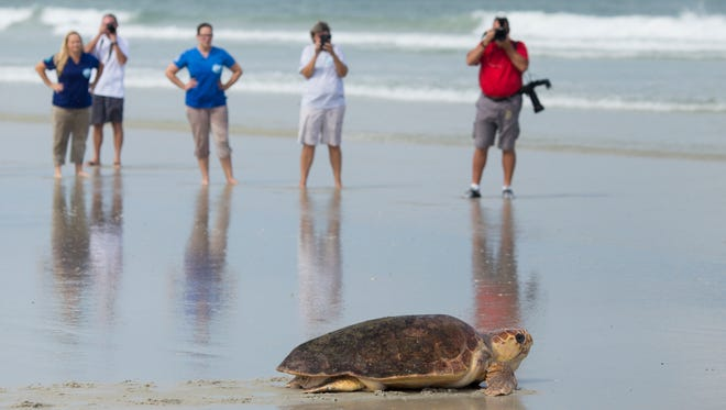 Bystanders watch a rehabilitated sea turtle make it's way back to sea during a public release. If you come across a sea turtle on the beach, it's best to leave it be, experts say.
