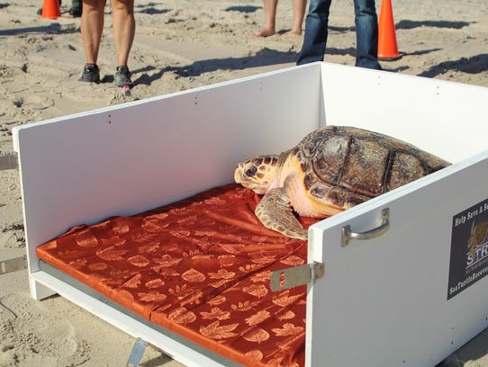 Bailey the loggerhead sea turtle is shown before he