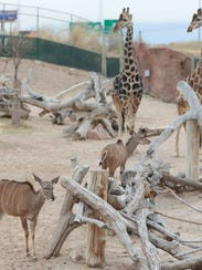 Greater kudus and giraffes share an enclosure at the