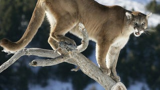 Mountain lions are also known as cougars. Size and weight of cougars vary. Adult males are larger—often measuring up to eight feet in length and weighing 150–200 pounds. Adult females usually measure up to seven feet in length and average 90–110 pounds.