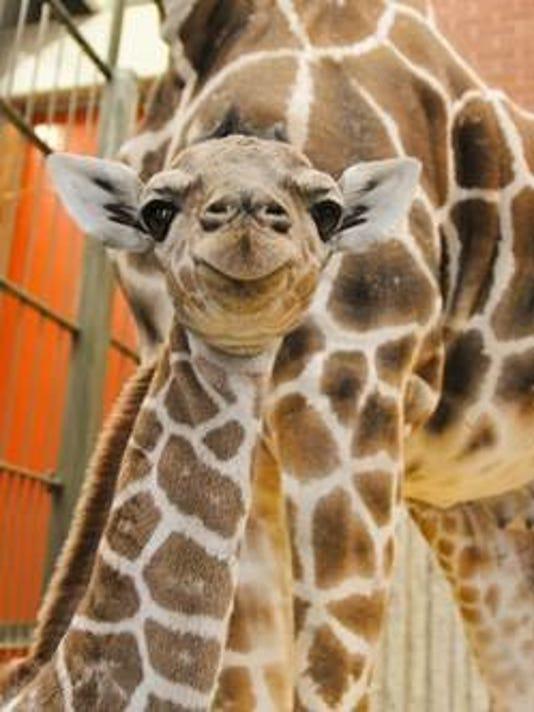 Denver Zoo Welcomes Adorable Baby Giraffe