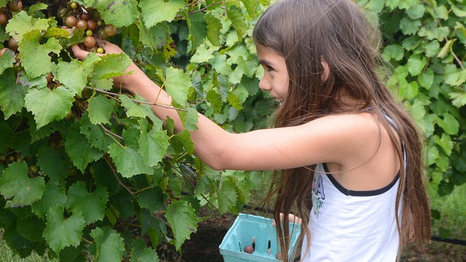 Amelia Mirando, 9, picks grapes at Post Familie Vineyard located east of Arkansas State Hwy 186 on Fair Haven Road in Altus on Friday, Sept. 26, 2020. Amelia was at the vineyard with her twin sister Sophia, brother, Max, 6, and mother, Amber. Joseph Post said they had a bumper crop this year and they decided to open up to the public for the first time before the harvest. Pick your own at Post will be this weekend and the following Thursday through Sunday from 1 to 4 p.m. Post said that it may continue longer depending on weather.