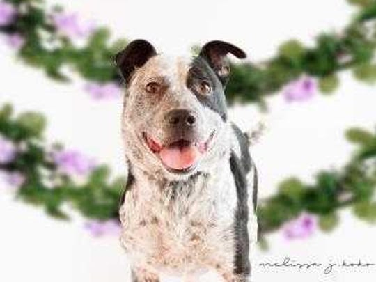 Sky - Male (neutered) Australian cattle dog, about 8 years old. Intake date: 8/8/2017