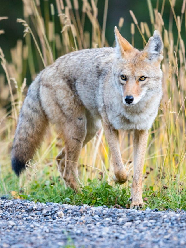 Coyotes in Cherokee Park worrying pet owners